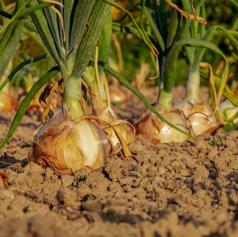 Onion cultivation on the rise in some districts of Maharashtra